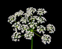 Queen Anne's lace wildflower Stock Photos
