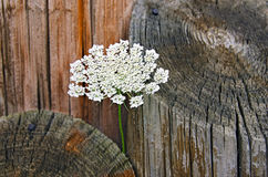 Queen Anne's Lace in wood piling Stock Images