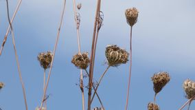 Queen annes lace dried and dead waving in wind stock video footage