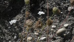 Queen annes lace going to seed and dying against dirt wall stock video footage