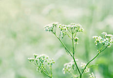 Queen Annes lace in a lush green summer meadow. White wild carrot flowers (Queen Annes lace) in a lush green summer meadow with sunlight and shallow focus Royalty Free Stock Photo