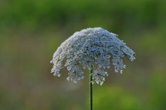 Queen Annes Lace. Open grown Queen Annes Lace (Daucus carota) in Middle Tennessee field. Considered an invasive weed that was introduced from Old World Europe Royalty Free Stock Image