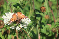Queen Anns Lace and butterfly Stock Photography