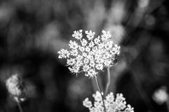 Queen Anns lace Royalty Free Stock Images