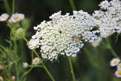 Queen Anns lace and wildflowers Royalty Free Stock Image