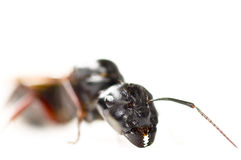 Queen ant isolated in white.  Royalty Free Stock Photo