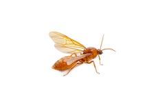 Queen ant Stock Photo