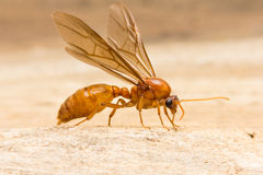 Queen ant Royalty Free Stock Photos