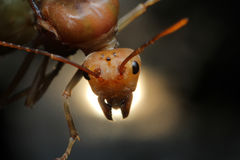Queen Ant in Southeast Asia. Queen Ant close up in Thailand and Southeast Asia stock images