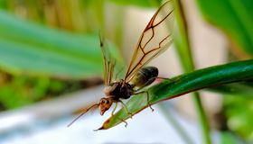 The queen of ant. About the queen of ant stay on green of leave...she alone..hunting the food royalty free stock photo