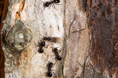Queen ant surrounded by four ants royalty free stock photo