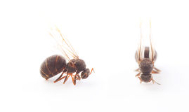 Queen Ant on White Stock Photos