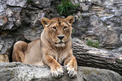Queen beasts. Lying lioness from the Moscow Zoo Royalty Free Stock Photo