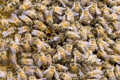 Queen bee Stock Photo