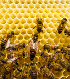 Queen bee royalty free stock images