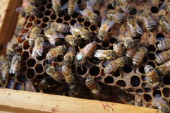 Queen bee Stock Photos