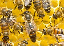 Queen Bee And Bees Stock Image
