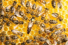 Queen bee in bee hive laying eggs Stock Photography