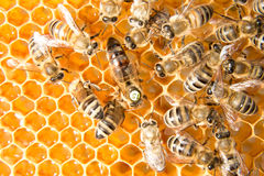 Queen bee in bee hive laying eggs. Queen bee in a beehive laying eggs supported by worker bees Royalty Free Stock Photography