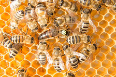 Queen bee in bee hive laying eggs. Queen bee in a beehive laying eggs supported by worker bees stock images