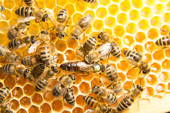 Queen bee in bee hive laying eggs. Queen bee in a beehive laying eggs supported by worker bees stock photography