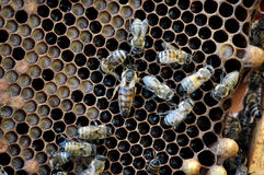 Queen bee in a beehive frame. Queen bee hive on the frame of brood and bees suite Stock Photos