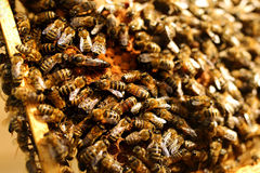 Queen bee in a beehive laying eggs supported by worker bees. Apiculture.  stock photography