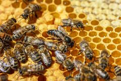 The Queen bee with the bees on the combs.  Royalty Free Stock Photo