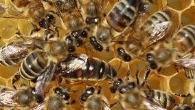Queen Bee and Bees stock video