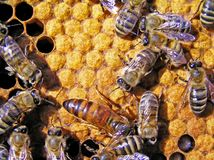 Queen bee behind work. The queen bee searches for the blank cells to postpone in them eggs Stock Photos
