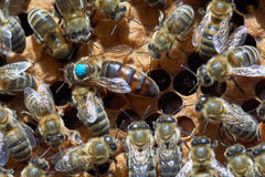 Queen bee. In the center. It's larger than other worker bees and it's marked by blue paint Stock Images