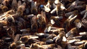 Queen bee. Close up of a queen bee stock video