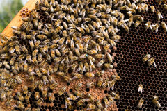 Queen bee close up. Queen bee detail. Apiculture, rural life.  Beekeeping Stock Photos