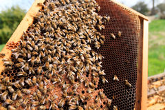 Queen bee close up. Queen bee detail. Apiculture, rural life.  Beekeeping Royalty Free Stock Photography