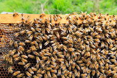 Queen bee close up Stock Photography