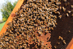 Queen bee close up. Queen bee detail. Apiculture, rural life.  Beekeeping Royalty Free Stock Photos