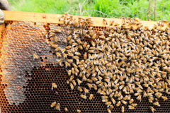 Queen bee close up. Queen bee detail. Apiculture, rural life.  Beekeeping Royalty Free Stock Images