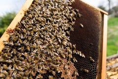 Queen bee close up. Queen bee detail. Apiculture, rural life.  Beekeeping Stock Photo