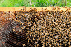 Queen bee close up Royalty Free Stock Photography