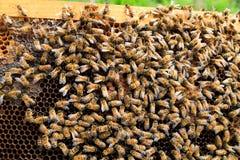 Queen bee close up. Queen bee detail. Apiculture, rural life.  Beekeeping Stock Images