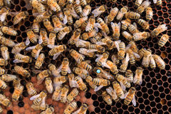 Queen bee close up. Queen bee detail. Apiculture, rural life.  Beekeeping Royalty Free Stock Image