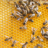 Queen bee. А group of bees in the combs and in the center the Queen bee Royalty Free Stock Photos