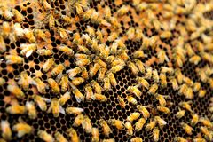Queen bee in honey comb Royalty Free Stock Photo