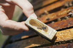 Queen bee in introduction cage. Beekeeper introducing a new queen bee to the hive Stock Images