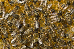 Queen bee lays eggs in cell Royalty Free Stock Images