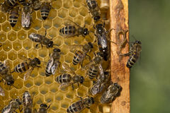 Queen bee lays eggs in cell Stock Image