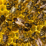 Queen bee lays eggs in the honeycomb. Royalty Free Stock Photo