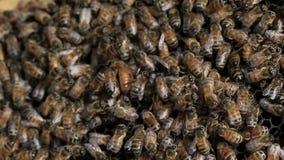 Queen bee macro in honey bee hive stock video footage