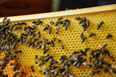 Queen bee marked with a number. Queen bee surrounded by her workers. Close up of wooden frame with honeycomb and bees Stock Images