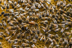 Queen bee Royalty Free Stock Photography